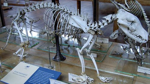 Facts about Tasmanian Tiger