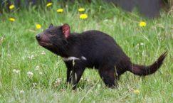 Tasmanian Devils