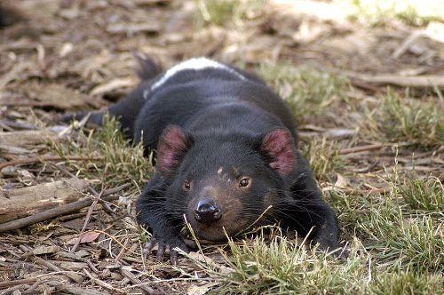 Tasmanian Devils Pic