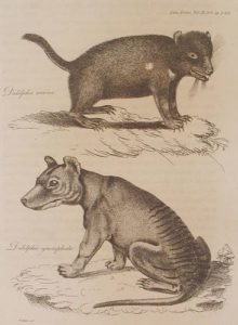 Tasmanian Tiger Facts
