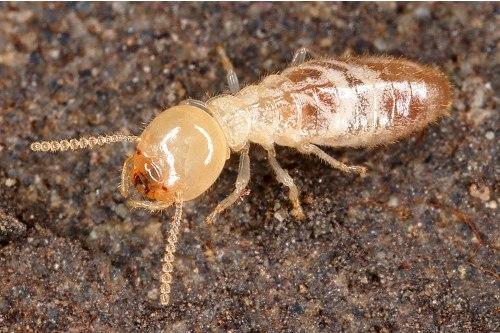Termites Facts