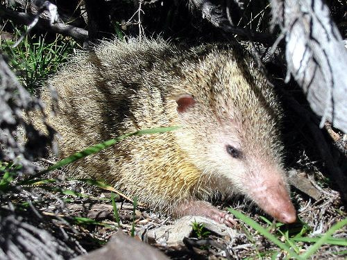 Tenrec Facts