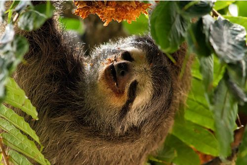 the Three Toed Sloth Facts