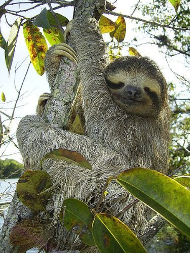 the Three Toed Sloth